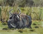 Resting_water_buffalo